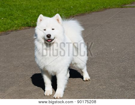 Samoyed ahead.