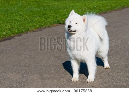Samoyed with grin.