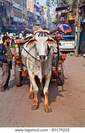 Ox Cart Transportation On Early Morning  In Delhi, India