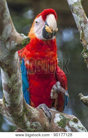 Parrot Macaw, Ecuador