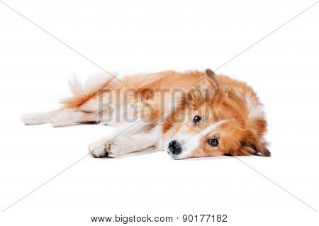 Tired Border Collie Dog Lying On A White Background