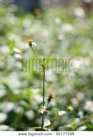 Camomile Oxeye Daisy Meadow Background