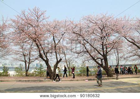Seoul,korea - April 15 : Seoul Cherry Blossom Festival In Korea.tourists Walking And Take Photos Of