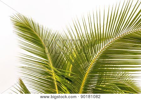 Palm Fronds in the Trade Winds.