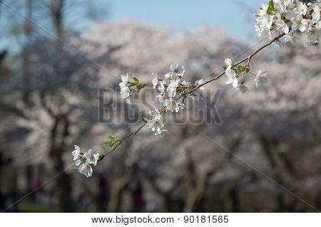 Single Branch On A Cherry Blossom Tree
