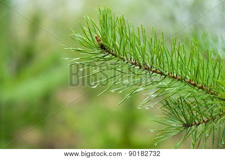 Closeup of green pine tree  branches after rain in forest