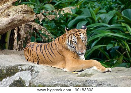 Tiger relaxed on a rock in a Zoo