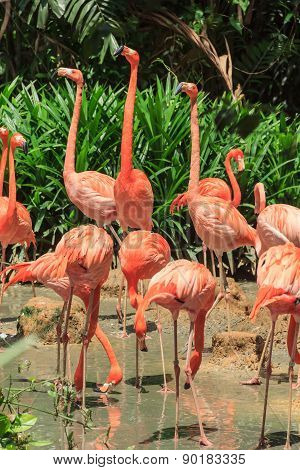 Flock Of Pink Caribbean Flamingos