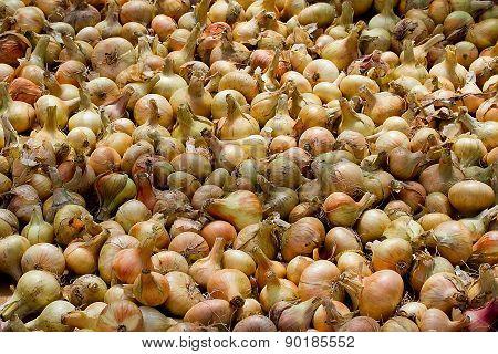 Big Crop Of Onions