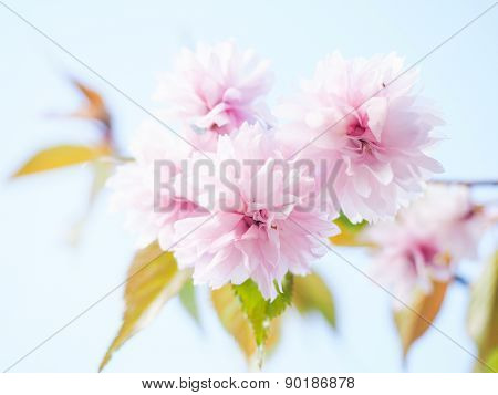 Japanese Pink Cherry Blossoms, Blooming On Tree Towards Light Blue Sky
