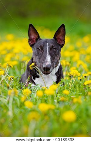 miniature english bull terrier dog