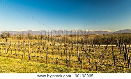 Vineyard In Early Spring