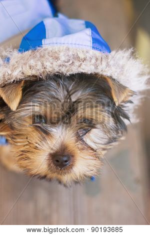 yorkshire terrier in a suit