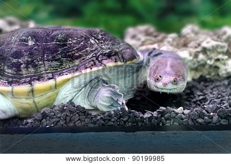 Amphibian Exotic Animal Chelidae In Water