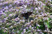 pic of butterfly-bush  - Black swallowtail butterfly on lavender butterfly bush - JPG