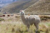stock photo of andes  - Llamas - JPG