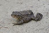 stock photo of ugly  - The ugly toad moves clumsy on land. Could this be an enchanted prince ** Note: Shallow depth of field - JPG