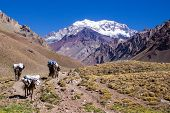 stock photo of mule  - A shot of mules in the Aconcagua Mountain trail - JPG