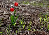 stock photo of grass area  - Two lonely red tulips growing in a desolated area of gead grass and vegetation - JPG