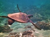 stock photo of sea-turtles  - Hawaiian Green Sea Turtle off the Island of Oahu - JPG