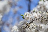 foto of may-flower  - The cherry blossoms in early May - JPG