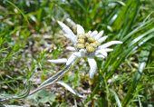 foto of edelweiss  - Edelweiss  - JPG