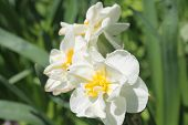 foto of narcissi  - The narcissi white bloom in the garden