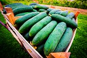 stock photo of crate  - Young cucumber freshly picked stacked in crates ready for sale - JPG