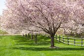 image of split rail fence  - A row of cherry blossoms in full bloom - JPG