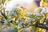 pic of cherry trees  - Beautiful blooming cherry tree in springtime - JPG