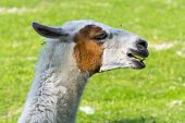 stock photo of lamas  - Llama  - JPG