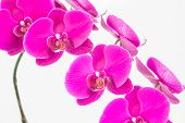 pic of moth  - Purple Moth orchids close up over white background - JPG