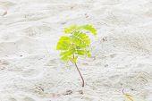 stock photo of tamarind  - Small tamarind tree growing on white sand - JPG