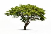 picture of linden-tree  - big tree isolated on white background - JPG
