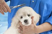 picture of poodle  - Poodle grooming at the salon for dogs - JPG