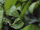 stock photo of ivy vine  - Green ivy Hedera with glossy leaves and white veins in the rain - JPG