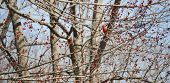 picture of cardinal-bird  - A male Cardinal sits - JPG
