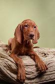 pic of hungarian  - Dog Hungarian Vizsla pointer puppy Brown dog - JPG