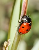 stock photo of water bug  - ladybird insect climbing flower stem with water drops  - JPG