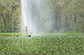 picture of water cabbage  - irrigation water young vegetable fields on sunny day - JPG
