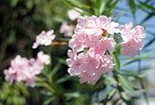 stock photo of oleander  - Oleander Rose bay flower with leave - JPG