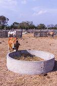 stock photo of feedlot  - Thai Cows Eating In The Farm  - JPG