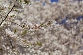 pic of cherries  - Cherry blossoms in the spring with a closeup to the flowers and other cherry blossoms can be seen in the background - JPG