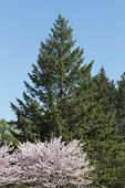 stock photo of cherry trees  - A Cherry Blossom Sakura tree with a green tree in the background - JPG