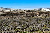 stock photo of canary-islands  - vineyards on black volcanic sand at La Geria Valley Lanzarote Island Canary Islands Spain - JPG