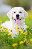 picture of dandelion  - golden retriever dog posing on a dandelions field - JPG