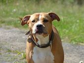stock photo of pit-bull  - Guarding pit bull dog looking into camera - JPG