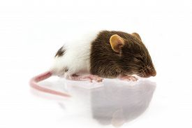 stock photo of fancy mouse  - Close up shot fancy mice on isolate white background - JPG