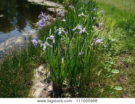Blue Flag Irises