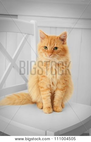 Cute red cat sitting on white chair in the room, close up